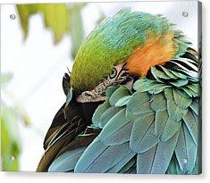 Shy Macaw Acrylic Print