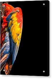 Shy Macaw Acrylic Print by Rob Amend