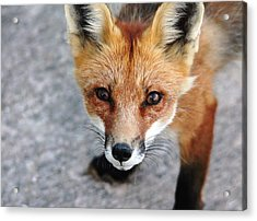 Acrylic Print featuring the photograph Shy Red Fox  by Debbie Oppermann