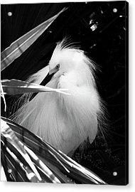 Shy Snowy Egret Acrylic Print