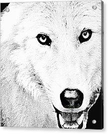 Shy Wolf Acrylic Print