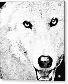Shy Wolf Acrylic Print by Debra     Vatalaro