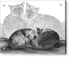 Siamese Cat Siesta Acrylic Print