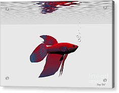 Siamese Fighting Fish Acrylic Print by Corey Ford