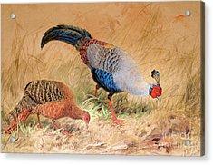 Siamese Pheasant  Acrylic Print