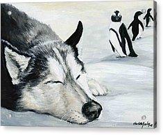 Siberian Huskey Acrylic Print by Charlotte Yealey