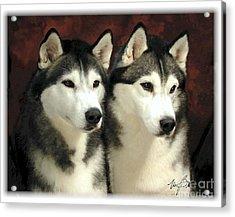 Siberian Huskies Related Acrylic Print by Maxine Bochnia