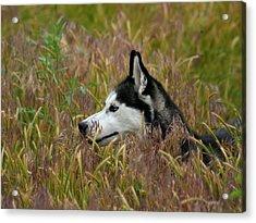 Siberian Husky 38 Acrylic Print