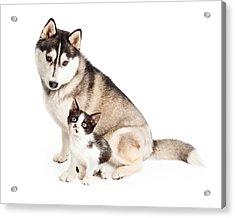 Siberian Husky Dog Sitting With Little Kitten Acrylic Print