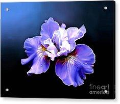 Siberian Iris Acrylic Print by Robert Foster