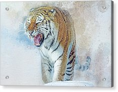 Siberian Tiger In Snow Acrylic Print