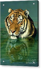 Siberian Tiger Reflection Wildlife Rescue Acrylic Print by Dave Welling