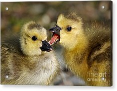 Sibling Rivalry Acrylic Print