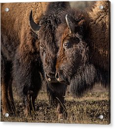 Siblings // Lamar Valley, Yellowstone National Park Acrylic Print