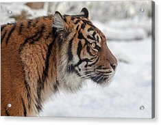 Side Portrait Of A Sumatran Tiger In The Snow Acrylic Print