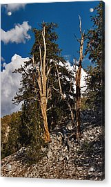 Acrylic Print featuring the painting Sierra Cedar by Larry Darnell