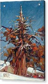 Sierra Juniper Acrylic Print by Donald Maier