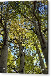 Sierra Nevada Aspen Fall Color Acrylic Print