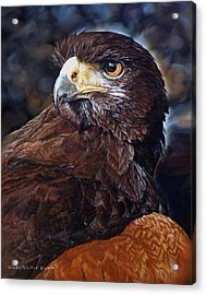 Sig The Harris Hawk Acrylic Print