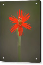 Acrylic Print featuring the photograph Silene Laciniata - Indian Pink by Alexander Kunz