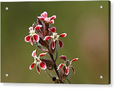 Acrylic Print featuring the photograph Silene by Richard Patmore