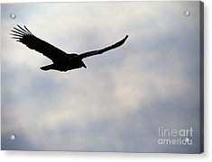 Silhouette Of A Turkey Vulture  Acrylic Print by Erin Paul Donovan