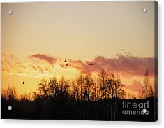 Silhouette Of Birds Wildfowl Geese Flying Off To Roost At Sunset Acrylic Print