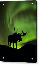 Silhouette Of Moose With Green Aurora Acrylic Print by John Hyde