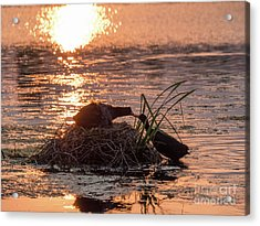 Silhouette Of Nesting Coots - Fulica Atra - At Sunset On Golden Po Acrylic Print