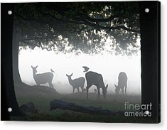 Acrylic Print featuring the photograph Silhouette Of Red Deer - Cervus Elaphus -  Hinds Or Females Grazin by Paul Farnfield