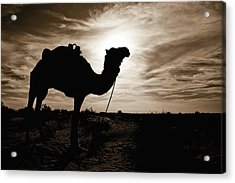 Silhouetted Camel, Sahara Desert, Douz Acrylic Print by David DuChemin