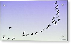 Silhouetted Flight Acrylic Print