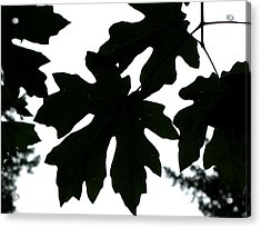 Silhouetted Maple Acrylic Print by PJ  Cloud