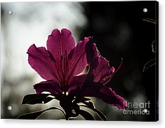 Silhouetted Pink Acrylic Print