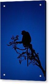 Silhouetted Proboscis Monkey Nasalis Acrylic Print by Mattias Klum