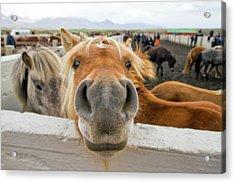 Silly Icelandic Horse Acrylic Print