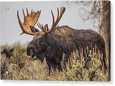 Acrylic Print featuring the photograph Silly Moose  by Kelly Marquardt