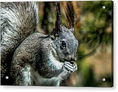 Silver Abert's Squirrel Close-up Acrylic Print by Marilyn Burton