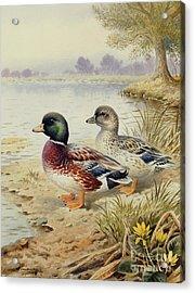 Silver Call Ducks Acrylic Print