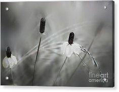 Silver Dew Acrylic Print
