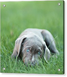 Silver Lab Puppy Acrylic Print by Laura Ruth