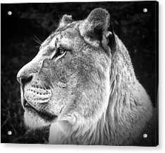 Acrylic Print featuring the photograph Silver Lioness  by Chris Boulton