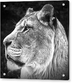 Silver Lioness - Squareformat Acrylic Print