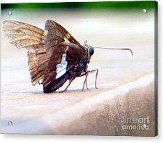 Silver Spotted Skipper Butterfly Acrylic Print