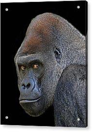 Silverback Lowland Gorilla Acrylic Print