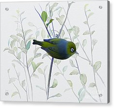 Silvereye Acrylic Print