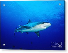 Silvertip Shark In Thailand Acrylic Print by Dave Fleetham - Printscapes