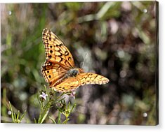 Variegated Fritillary Butterfly On Wildflower Acrylic Print
