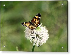 Silvery Checkerspot Butterfly On Wildflower Acrylic Print