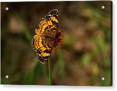 Silvery Checkerspot Butterfly Acrylic Print